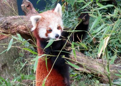 Photo: A red panda