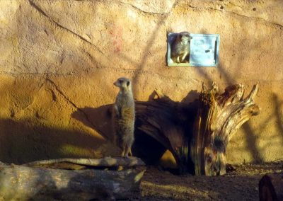 Meerkats at Chester Zoo