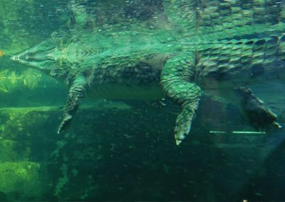 A large Sunda gharial seen from the underwater viewing area