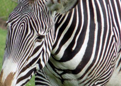 Photo: Grevy's zebra