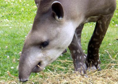 A tapir at Chester Zoo