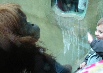 A curious orangutan